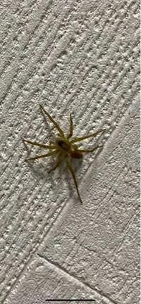 このクモはアシダカクモの子供ですか!?