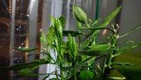ベランダのこの植物さん 夜になると葉っぱを畳みます 寝ているのでしょうか?