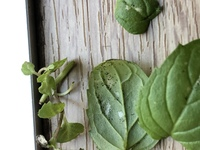 観葉植物に黒い斑点とかじられたような後が出てきました。家のペパーミントなんですけど、正体はなんなんでしょうか? 色々な葉っぱで見られてるので、切り取って感染?しないようにしてますが 、どんどん広がっ...