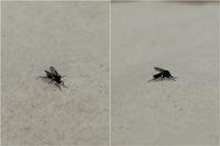 洗面所に2mmほどの小さくて黒い虫がいたのですが、なんという名前の虫か分かる方いませんか?