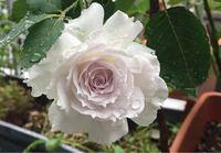 このバラの名前を教えてください。 ネットで見つけたのですが品種が書いていなくて分かりませんでした。