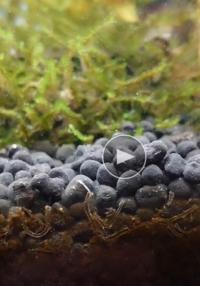 せっかく大切に育ててきた水槽の土の中に変な細長い虫?がいる事に気がつきました。 ミズミミズと色も大きさも違うし。 誰か、この変な虫 分かる方みえませんか?どうしよう。