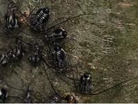 この黒い小さい虫は何という虫でしょうか? 虫が苦手な方はごめんなさい。 今朝、庭のシマトネリコに群がっていました。  写真では見にくいですが小さいゴキブリのような感じで 触角が異様に長くお尻のほうに縦に白いラインが入っています。