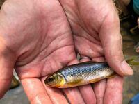 魚の名前を教えて下さい。 川で捕った魚です。 なんてお魚でしょうか?  焼いた状態の魚で同じ質問をしましたが、 焼く前の写真もあったので追加で質問させて頂きました。