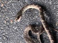 蛇に詳し方へ質問します。 ご教示よろしくお願い申し上げます。  添付写真の蛇庭にいました、毒蛇ですか?どの種類ですか? 危ないですか? 子供庭によく遊んでいますので、心配で質問しました。  よろしく...