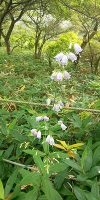 8月上旬の群馬県赤城山大沼周辺で見かけた草花です。ホタルブクロのようで、ちょっと小振りな薄紫の花でした。 花の名前を教えていただけませんか。 よろしくお願い致します。
