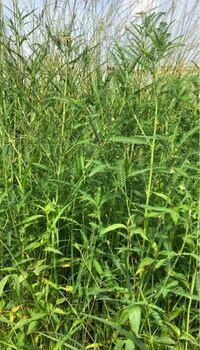雑草の名前を教えてください。 1.背丈は2m弱 2.葉っぱは、オジギソウのようだが、触ってもお辞儀はしない。 3.黄色い花を咲かせる。  特徴は以上です。 増殖して困っています。 宜しくお願いします。