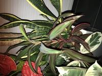観葉植物の名前について。 閲覧ありがとうございます 観葉植物の寄せ植えをいただきましたが、この赤いふちの植物の名前がわかりません。画像で調べてみましたが、どこか違うところがあって確 実ではなく管理の...