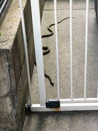 このヘビの種類が分かる方いらっしゃいますでしょうか? 昨日写真のヘビが自宅の庭に出ました。 そのまま逃げていってしまいましたが、 ヘビが苦手な父が、「毒ヘビなのではないか?」と心配し日課の庭作業が出来...
