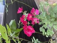 つるバラの品種名を教えて頂きたいです。  バラはあまりにも品種が多いことは承知しているので、大体この品種が近いかな?程度で名前がいくつか聞かせて頂けると嬉しいです。