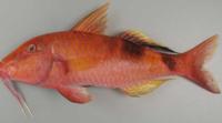 よく八百屋さんが金魚には名前を付けてはならぬ!と言いますがなぜですか?陰謀ですか?