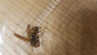 自宅の庭に1日1匹ほど画像の蜂がきます。アシナガバチでしょうか?毎日苦労して捕まえてます。近くに巣があるのでしょうか?自宅の庭にはないようです。都心なのですが、、、