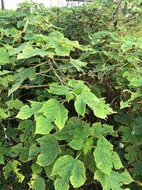 雑草に紛れて生えてきました、あっという間に大きくなって太い幹になってしまう、この植物は何か分かりますか? また、今ではあちこちに生えてきて刈り取るのが大変です、何か駆除する良い方法はありませんか?