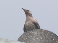 野鳥についての質問です。  この写真の鳥は、なんという名前でしょうか? 住宅街で遭遇したのですが、名前がわかりません。 大きさはムクドリかヒヨドリくらいだと思います。  ムクドリの若鳥が似ているよう...