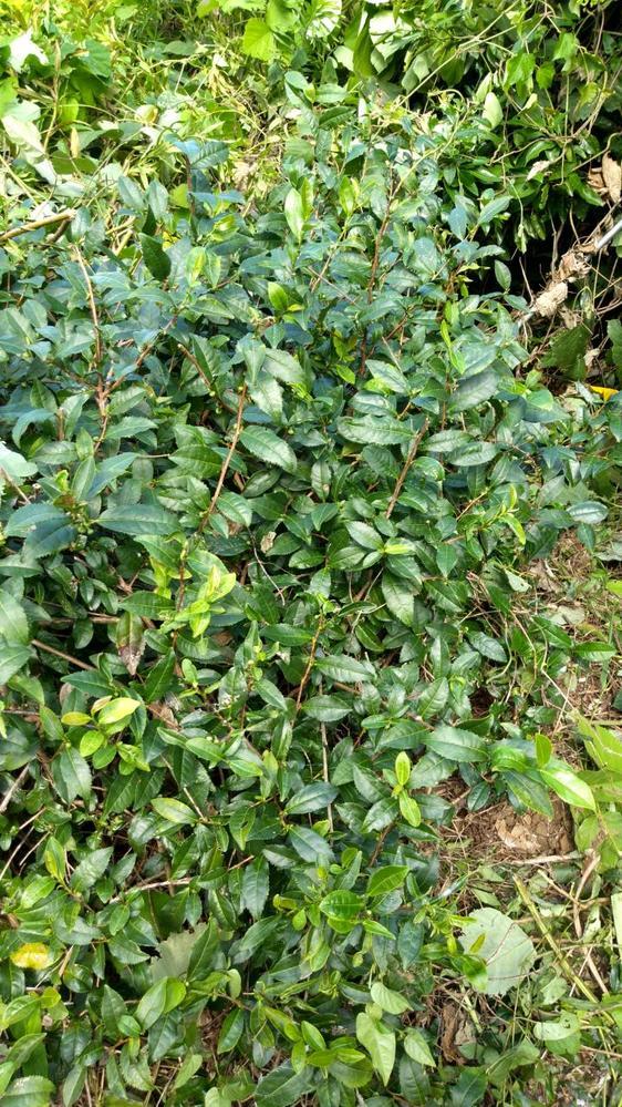 お茶の木について教えてください。 みかん畑で、境界線としてお茶の木が植えられてます。 この木は植えてから60年以上たってますので、知っている人はもう誰もいません。 なのでどんな品種なのかわかりません。 番茶として飲まれていたことしかわかってないです。 昔のお茶の木について詳しいお方がいらっしゃいましたら教えてください。