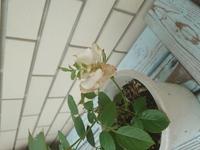 バラの中心から花びらと一緒に葉が咲いてきました これはどういう状況でしょうか?バラが病気なのでしょうか?