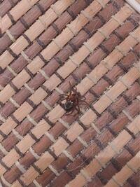 この蜘蛛はハエトリグモですか? 詳しい情報欲しいです!!