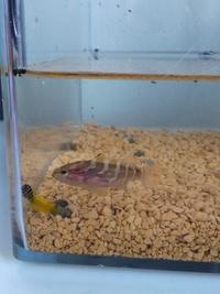 海水魚に詳しいかた、この魚なんですか? 磯にいました。タテジマで黒と白2センチくらいです。あと黄色のシマシマはナベカで合っていますか?