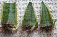 サンスベリアの葉挿しをしています。 画像のように根っこが出てくるのはどのくらい経ってからになるのでしょうか?