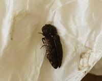 お風呂場の脱衣所の床にいた虫ですがなんという虫ですか? 全然動かず死んでるように見えました。けっこう硬いです。 よく地面とか床にいてじっとしているようなので天敵にすぐやられるんじゃ ないかとおもいま...
