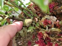 バラの鉢植えに生えてきました。ほっておいても問題無いでしょうか?