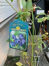 ブルーベリー栽培について教えてください 当方栽培が始めてで、戸建て購入記念に何か植えよう、ブルーベリー好きだから植えられるのかな?という安易な発想から始まりました。  よく調べてから買おうと思ってた矢...