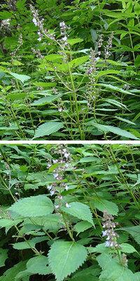 ヤマハッカ か ヒキオコシの仲間でしょうか? 植物名をご存知のかた、教えてください。 8月6日、長野県の標高1600mぐらいの高原の遊歩道で撮りました。 青紫蘇によく似た葉と花でしたが、香りを確認するのを忘...