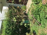 バラにお詳しい方、バラの木が枯れそうです、助けてください!  昨年の冬に購入した中古住宅に、バラの木が植えてあり、つるアイスバーグと札がついていました。5月に満開となり感動し、大切 にしようとバラの本を見て勉強しています。  今年の長雨で黒点病がひどく、その後の猛暑でぼぼつるっぱげ状態です。茶色く枯れた葉もチラホラあります。  このまま枯れてしまうのでしょうか?なにかできることは...