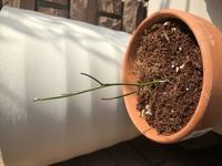 みさきというミニバラを、マンションのベランダで育てている初心者です。 6月に苗を購入し、その頃は葉っぱは茂っていていくつか小さい可愛い花も咲いてくれていましたが、気付いたらあっとい う間にハダニにやられてしまい、今ではかわいそうな姿になってしまいました。あまりに初心者で、ハダニに気づくのが遅かったです。最初は新しい芽も出て来ていたのですが、気づいたら新しい葉も枯れていて、今ではすっかり葉が...