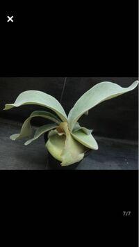 ビカクシダの栽培に詳しい方にお聞きしたいです。 omoという鉢植えのビカクシダを購入したのですが、板付けにする場合は水苔を残したまま板に貼り付ければ良いのでしょうか?それとも水苔を新しくした方が良いの...