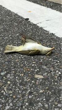 鳥が駐車場で死んでいました。 鳥の種類は何ですか? 暑さでやられたんでしょうか? 目も開けて死んでいました。 こんな死に方してる鳥初めてみたので驚きました。