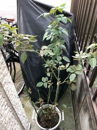バラの夏剪定について 夏バテなのか葉がほとんど落ちてしまいました。 高さを調整したいため、来月あたりの暑さが落ち着いた時期に剪定したいのですが、剪定しても大丈夫でしょうか。 剪定する場合は、どこにハサミを入れれば良いでしょうか  または、冬までこのままの方が良いでしょうか。 品種は、エアフロイリッヒです。 鉢が小さいのでしょうか。 先月までは葉が茂っていたのですが、今月に入り一度水切れ気味に...
