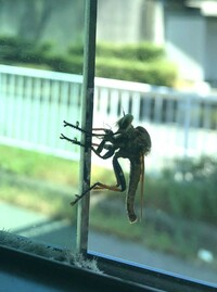 この昆虫らしき生物は何でしょう? 自分ではないのですが、嫁がバスに乗っていたとき、窓ガラスに張り付いていたそうです。 体長は五センチほどだったそうで、 ハチ類? 羽化直後のトンボ? いや、羽化直後が...