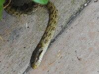 このヘビに詳しい方;草むらの方へ向かっていますが、草取りの時、足が危険ということはありませんか?草抜きはやめていたほうがいいですか? 庭の水やりをしていたら4,50年ぶりに細い全長80cmぐらいのヘビが出てきました。 無知なので怖いです。 住宅街です。 そのままほっておいていいですか?