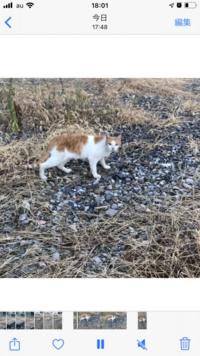 この猫飼い猫だと思いますか? 野良だと思いますか? じいっと見てきます けど逃げます  駐車場でくつろいでました 公園にいたり、人の家にいたり 近辺うろうろしてます