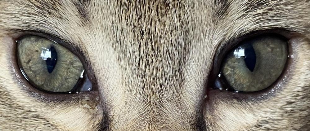 生後4ヶ月のキジ猫です。子猫の目の色は変わると聞いたのですが、うちに来た当初と比べて色の変化が...