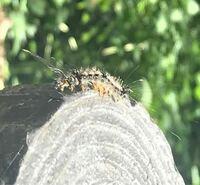 幼虫の種類 写真の毛虫について 種類が分かる方、ご教示ください。  本日福岡県で撮影しました。