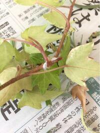 ①ナッツの木に発生。枝の根元毎に発生したので、枝を切り落としました。カイガラムシでしょうか? ②付いた部分は全て切り落としましたが、薬剤も使用した方が良いのでしょうか?  写真はアイビーに感染?した同じ...