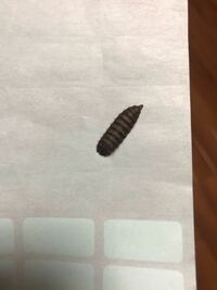 家の中に茶色い芋虫みたいな虫が何匹も出てきます。なんの虫か分からなくて不気味です。ご存知の方教えて頂けないでしょうか?