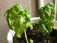 バジルの栽培について質問です。 今春から始めた園芸初心者です。 同時期に蒔いたバジルを3本ずつ2鉢に分けて植えています。  プランター栽培なのですが、1鉢に3本植えてある苗全てが写真の通り15cm未満しか...