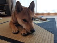 純血種の範囲で、柴犬ほど個体によって顔つき顔ぶれが違う犬っていないですか? なんかそんな気がしましたが、私の勘違いだったらすいません。