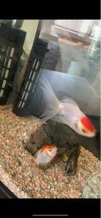 金魚ちゃんが… 尻尾が2ヶ所きれてしまってます。。 これは尾腐れ病でしょうか? ( • ˍ • )  他の魚も1匹同じようにきれてます。。