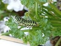 庭のパセリに卵を産み付けられ、黒から緑に変わって3日目のキアゲハの幼虫です。 お尻から透明緑色の塊が出てきていますがこれは何でしょうか?液体というより、ブヨブヨした感じです。この塊 とは別に糞はして...