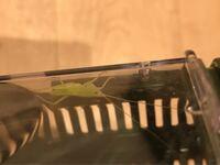 昨日採集した虫について ・ヒメクダマキモドキ幼虫  ・オンブバッタメス  ・?  ヒメクダマキモドキ幼虫を捕まえた所から離れた草むらで捕まえた幼虫ですが 名前が分かりません  名前はなんと言うのでしょうか?  6月まで家に居たクビキリギス成虫に似てる気がしますが