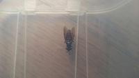 よく家に侵入してくる虫です。体長2~3センチ羽があり色は黒です。蜂のような蟻のような虫です。名前を教えて下さい。