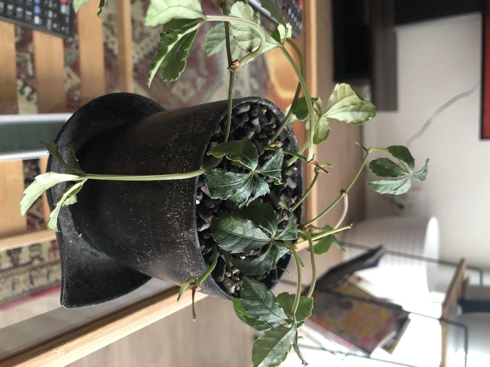 シュガーパインのことで質問します。1週間ほど前から一部の株の葉が萎れてきました。土が原因かと思い2日前に植え替えました。 今朝になり全体的に萎れてきました。原因は根腐れでしょうか?どうすれば回復しますか? 今はベランダの日陰に置いています。