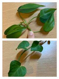この観葉植物の名前をご存知の方いらっしゃいませんか?