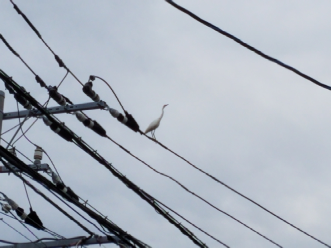 これは何と言う鳥ですか? 神奈川県の小さい川沿いで見かけました。 最初は川でプカプカしてたのですが やがて飛んでどこかへ行ってしまいました。