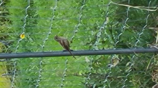 【野鳥について】 大分県の田舎の農耕地を散歩中、見かける野鳥の種類が何なのか、毎日気になってます。どなたか考えられるものをお教えください!! 近づくことはできず、写真も遠くから携帯でズームして...