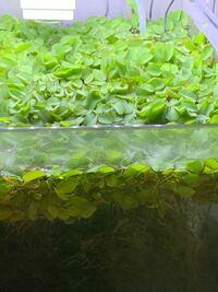 この浮き草の名前を教えてください 宜しくお願いします